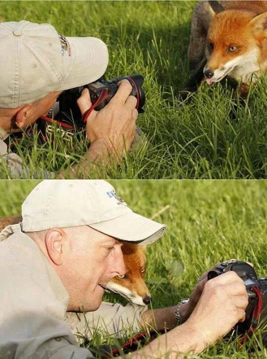 Портрет лисы